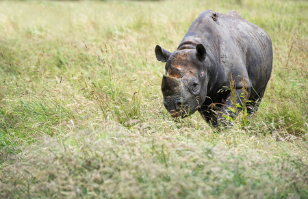 captivity: Black rhinoceros in captivity
