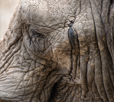 loxodonta africana: Close up portrait of African Elephant Loxodonta Africana