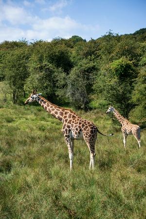 giraffa camelopardalis: Two giraffes running if field on sunny day Giraffa Camelopardalis