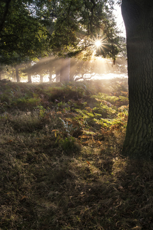Sun beams shining through forest trees in foggy Autumn Fall sunrise landscape photo
