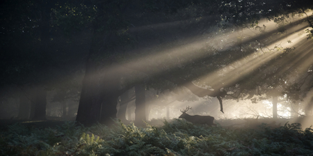 Red deer stag illuminated by sun beams through forest landscape on foggy Autumn Fall morning photo