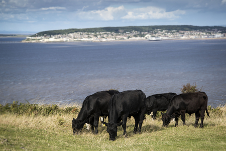 brean down: Landscape image of cows with Weston-Super-Mare in background