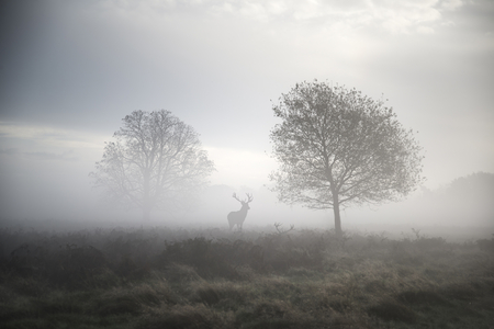 Red deer stag in foggy Autumn landscape Stok Fotoğraf
