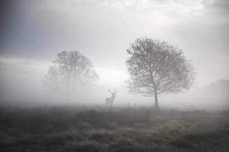 Red deer stag in foggy Autumn landscape Standard-Bild