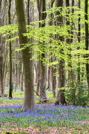 bluebells: Beautiful landscape of Spring bluebells in forest Stock Photo