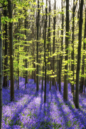 Beautiful landscape of Spring bluebells in forest Stock Photo
