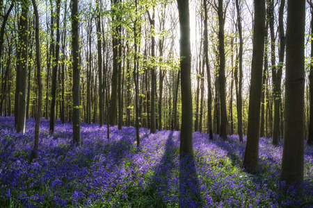 nautral: Beautiful landscape of Spring bluebells in forest Stock Photo