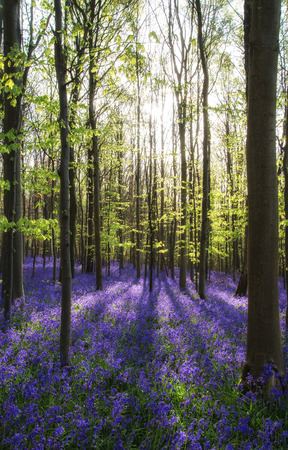Beautiful morning in Spring bluebell forest photo