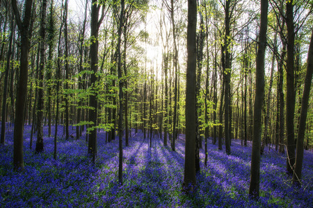 Beautiful morning in Spring bluebell forest