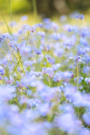 depth of field: Beautiful forget-me-not Spring flowers with shallow depth of field Stock Photo