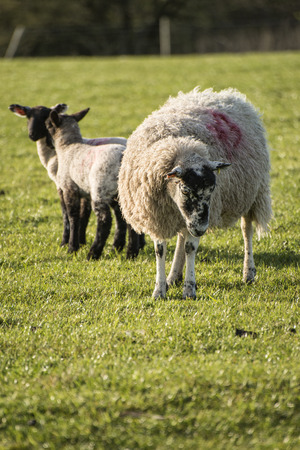 spring lambs: Beauitful landscape image of Spring lambs and sheep in fields during late evening light