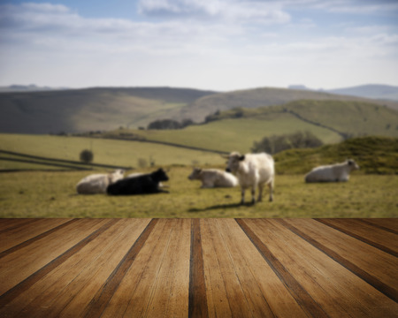 an agricultural district: Cows in Peak District UK landscape on sunny day concept image