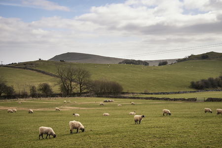 an agricultural district: Sheep in farm landscape on sunny day in Peak District UK