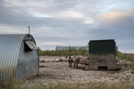 south downs: Pig farming on South Downs in Sussex countryside landscape