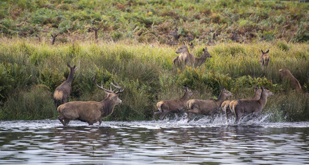 harem: Red deer harem during Autumn rut being forced into lake by stag as protection Stock Photo