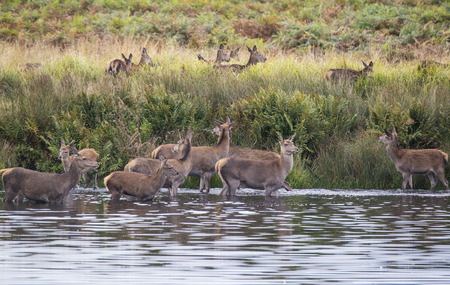 rut: Red deer harem during Autumn rut being forced into lake by stag as protection Stock Photo