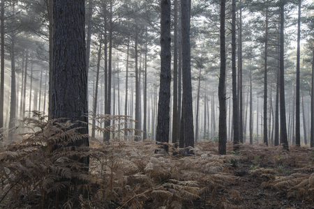 fall landscape: Autumn Fall landscape foggy morning in pine forest