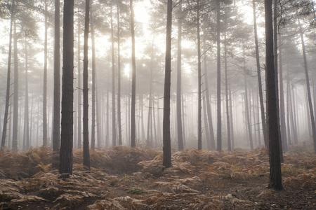 pino: Paisaje de la caída del otoño de la mañana de niebla en un bosque de pinos Foto de archivo