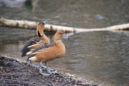 fulvous: Beautiful portrait of fulvous whistling duck in the wild