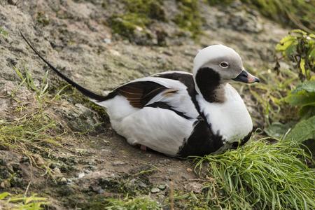 tailed: Beautiful long tailed duck Clangula Hyemalis water bird