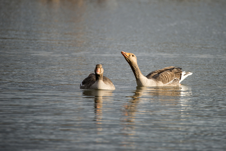 wetlands: Beautiful greylag goose Anser Anser in wetlands landscape Stock Photo