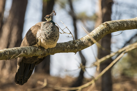 peahen: Beautiful peahen roosting in forest landscape Stock Photo
