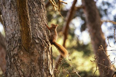 red squirrel: Beautiful red squirrel sciurus vulgaris climbing tree