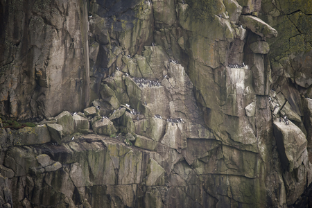 precarious: Colony of guillemot murre birds nesting on cliff face Stock Photo
