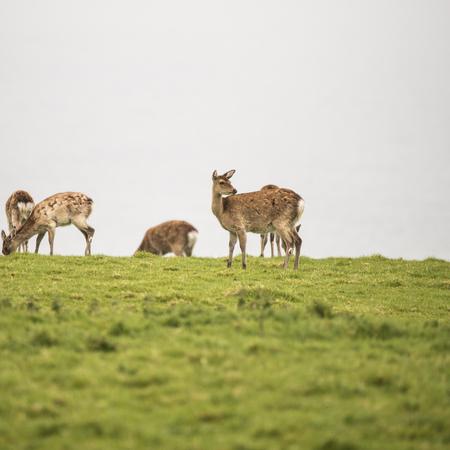 sika deer: Female sika deer grazing on open grassland on misty day