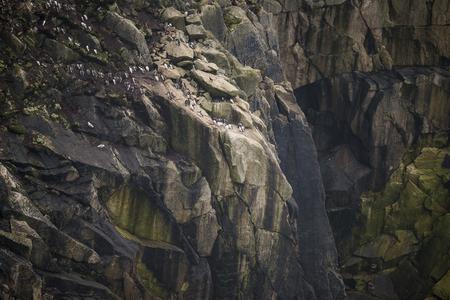 colony: Colony of guillemot murre birds nesting on cliff face Stock Photo