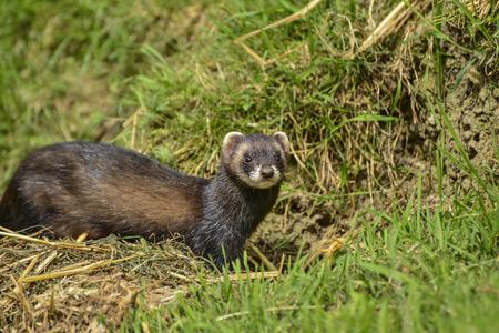 jill: Female Jill polecat mustelinae putorius outside her burrow