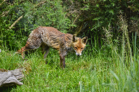 Beautiful old female vixen fox in long Summer grass Stock Photo
