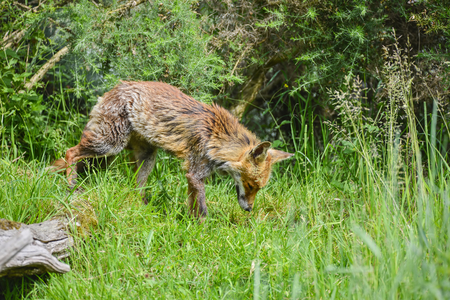 widlife: Beautiful old female vixen fox in long Summer grass Stock Photo