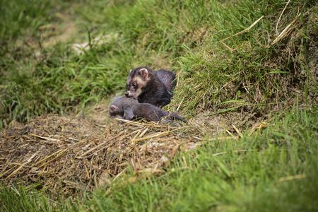 burrow: Female Jill polecat mustelinae putorisus dragging baby kit into burrow Stock Photo