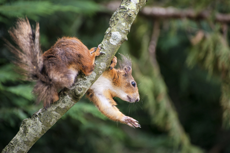 red squirrel: Cute red squirrel playing in tree trying to reach food