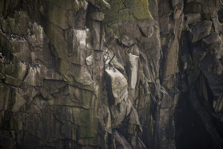 roosting: Colony of guillemot murre birds nesting on cliff face Stock Photo