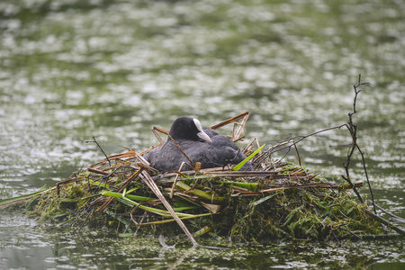 brooding: Coot rallidae fulica water bird on nest with chicks Stock Photo