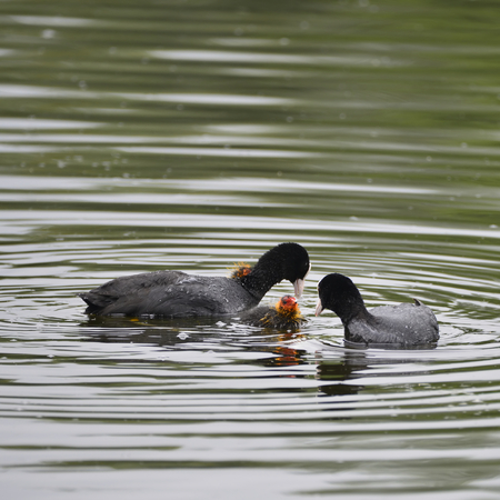 Coot rallidae fulica water bird family swimming on lake