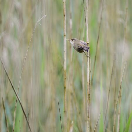 widlife: Beautiful reed warbler acrocephalus scirpaceus on reed