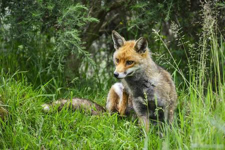 Beautiful male fox in long lush green grass of Summer field