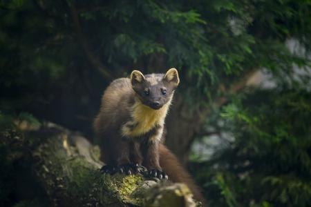 furry animals: Hermosa marta Martes martes en la rama en el árbol Foto de archivo