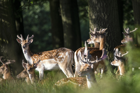 Group of young Fallow Deer stags and bucks in countryside landscape Stock Photo