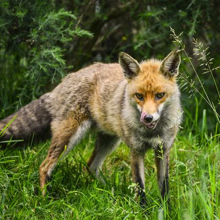 widlife: Beautiful male fox in long lush green grass of Summer field