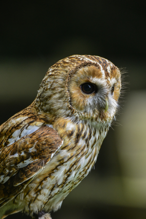 tawny owl: Beautiful portrait of Tawny Owl Strix Aluco