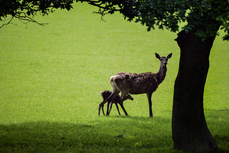 cervus: Red deer cervus elaphus doe and fawn walking in sunlight