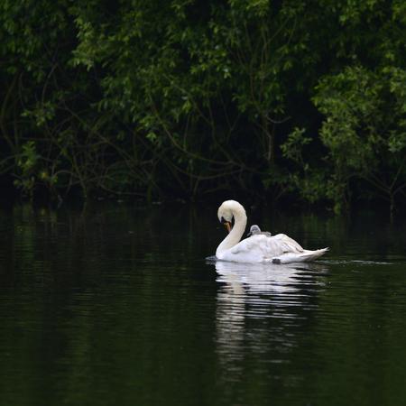cygnet: Beautiful mute swan cygnus olor with cygnet on back swimming on lake