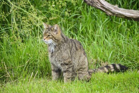 cat stretching: Beautiful Scottish Wildcat relaxing on tree in Summer sunlight Stock Photo