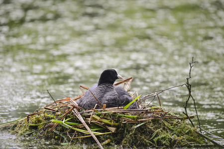 Coot rallidae fulica water bird on nest with chicks Stock Photo