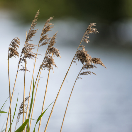 field depth: Shallow depth of field view of reeds over lake in Summer Stock Photo