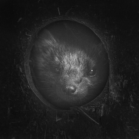 poking: Beautiful pine martin martes martes poking his head out of hole with vintage effect applied Stock Photo